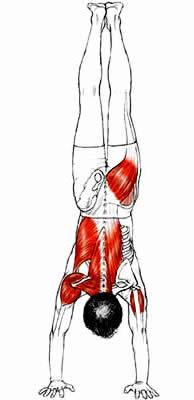 Anatomia e Corso di Formazione Yoga Adho Mukha Vrksa Asana